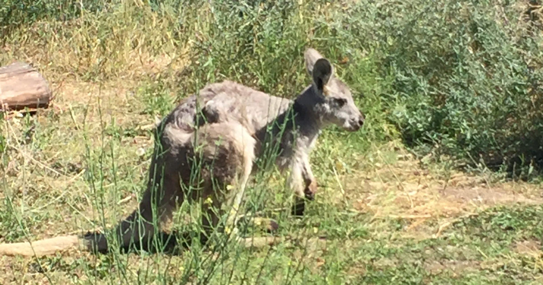 Kangaroo - Oasis Disturbance Adventure