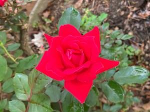 Rose - Adventure Story