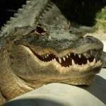 Gator - Adventure Stories