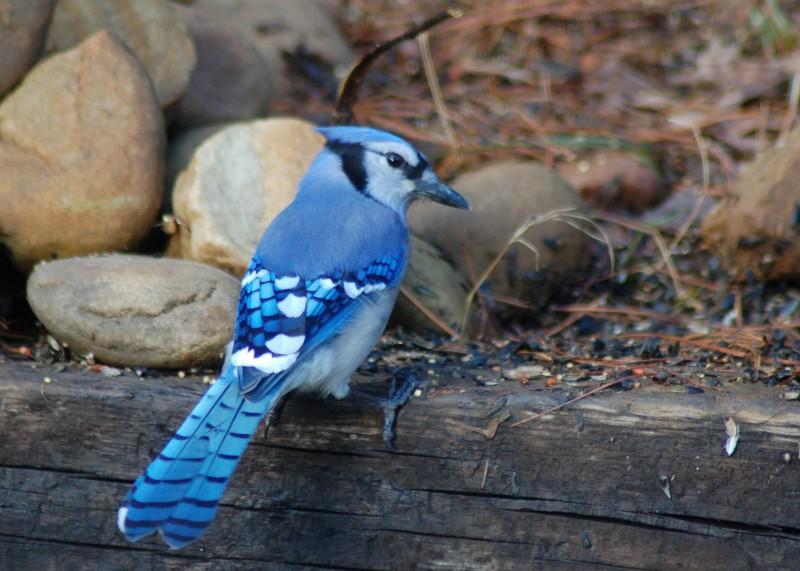 Bird - Blue Jay